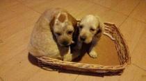 Cachorros urgente